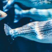 Fish Fraud